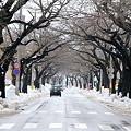 雪解け進む桜並木道