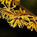 Photos: マンサクの花。