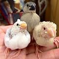 写真: 弥富文鳥のヒナがです(^ ^)
