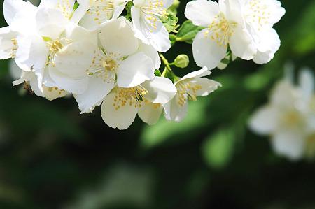2010.05.16 和泉川 白い花(木)