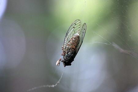 2010.08.07 追分市民の森 蜘蛛の巣にヒグラシ