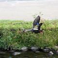 Photos: 2010.10.08 和泉川 カルガモ 飛翔