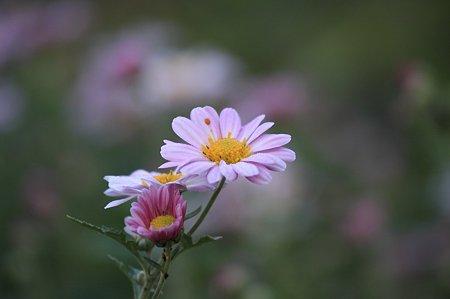 2010.11.08 和泉川 畑の菊