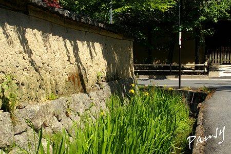 黄菖蒲の咲く径・・