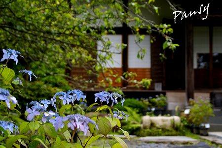 紫陽花咲く寺院・・