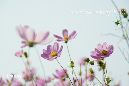 吾妻山公園のコスモス・・15