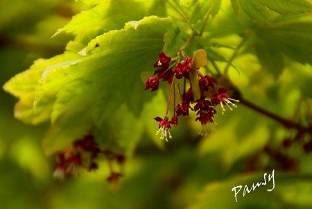 いたや楓の花・・