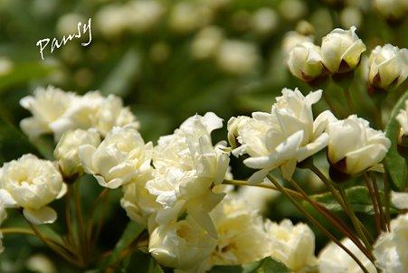 白いモッコウバラ・・