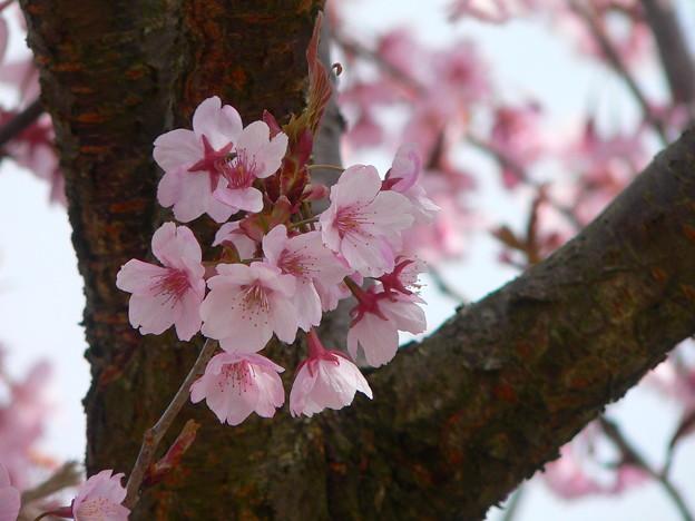 徳島(蜂須賀桜)・・・。
