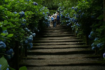 紫陽花の参道!(100626)