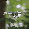 今朝の紫陽花
