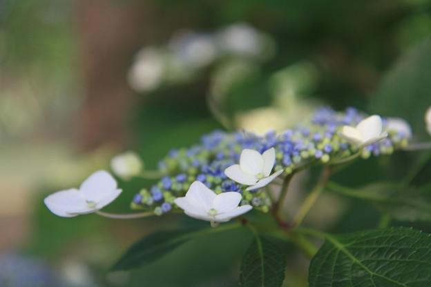 Photos: 今朝の後楽園 紫陽花