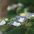 今朝の後楽園 紫陽花