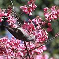 Photos: 110327-10寒緋桜とヒヨドリ