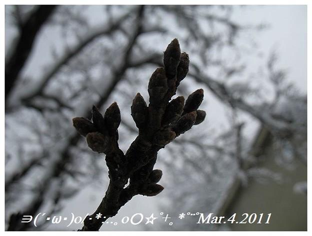Mar.4.2011 桜