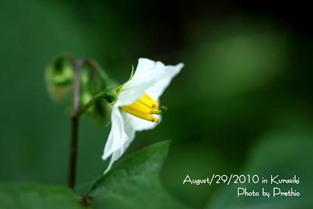 ひっそりと咲く花:ワルナスビ