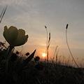陽が沈む頃花ひらく待宵草