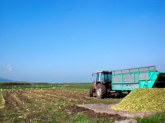 収穫と白鷺