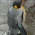 Photos: 福岡市動物園のペンギン(2)