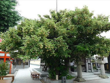 恵光院の菩提樹(1)