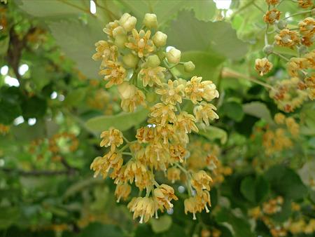 恵光院の菩提樹(5)
