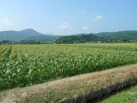 みなみの里のひまわり畑(1)