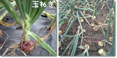 20110611 野菜3
