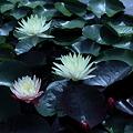 睡蓮(1) 草津市立水生植物公園みずの森