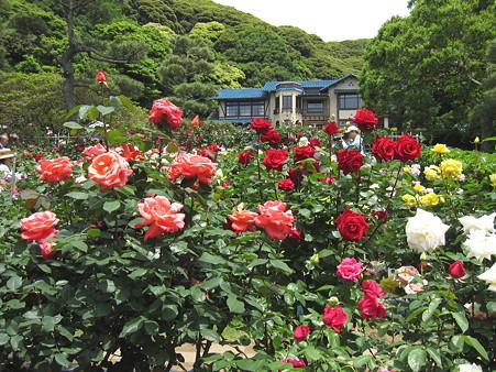 鎌倉文学館のバラ(1)