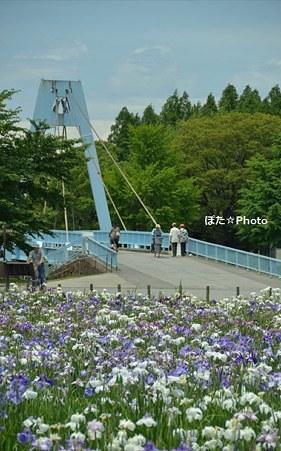 水元大橋と菖蒲
