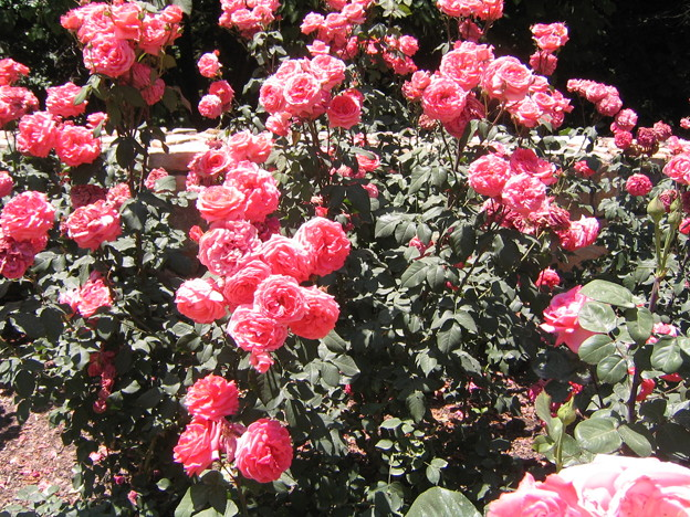 Sarah Duke Garden - Rose