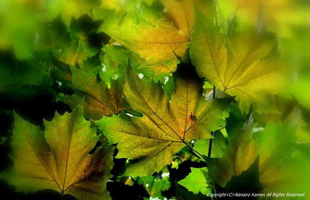プラタナスの葉に。。
