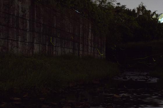 写真: 宝来橋のホタル 03