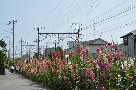 鎌倉のタチアオイ 01